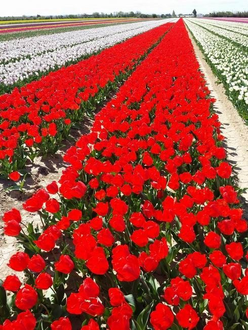 tulipe jonquieres